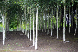 Birch trees all planted in straight lines