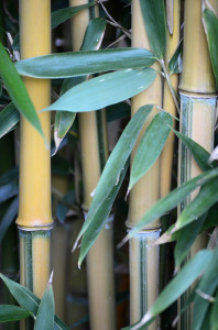 A close up of several bamboo culms and leaves